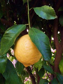 Lemon, Fruit, Fruit Trees, Lime