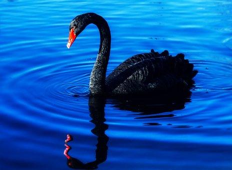 Swan, Lake, Mourning Swan, Water Bird, Black Swan
