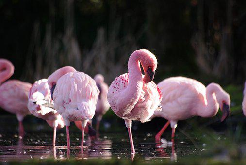 Animals, Flamingos, Nature, Bird, Colorful