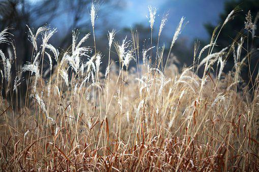 Reed, Autumn, Nature, Sky, Scenery, Atmosphere, Solar