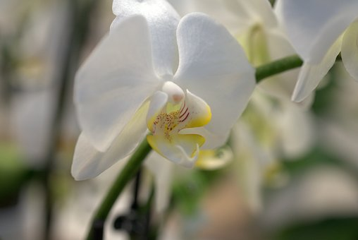 Orchid, Flower, Blossom, Bloom, White, Bloom, Flora