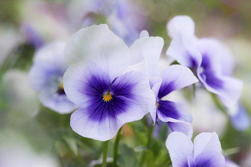 Pansy, Nature, Flower, Lilac, Purple, Soft, Delicate