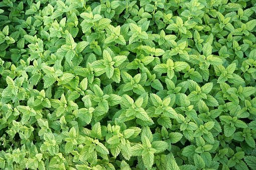 Mint, Herb, Healthy, Eat, Tee, Field, Peppermint, Herbs