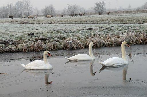 Swans, Ditch, Frozen, Winter, Polder, Waterfowl, Nature