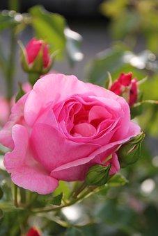 Rose, Flower, Blossom, Bloom, Nature, Rose Bloom, Red