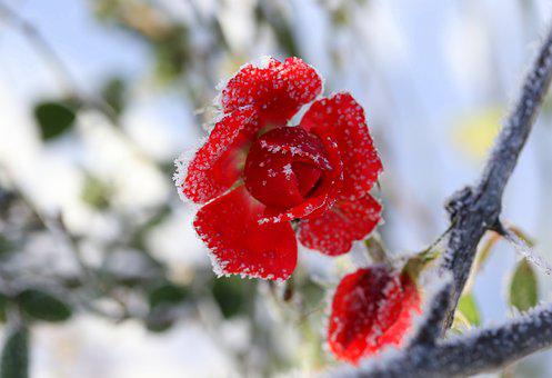 Rose, Frozen, Red, Winter, Flower, Cold, Nature