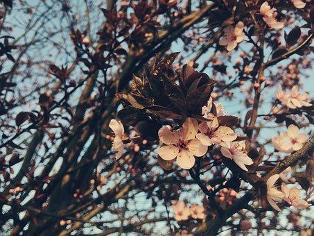 Blossom, Spring, Flowers, Ornamental Cherry, Garden