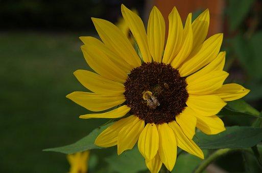 Sunflower, Yellow, Garden