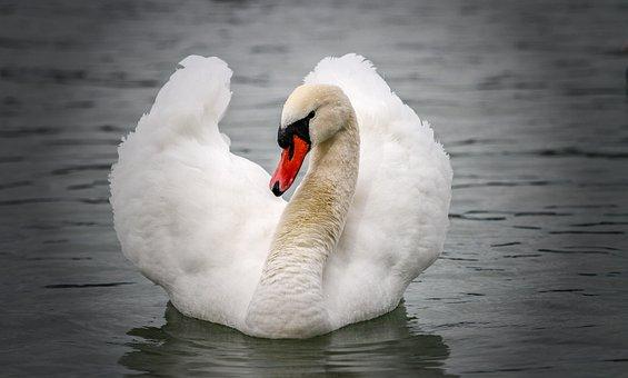 Swan, Animal World, Water, Water Bird, Animal