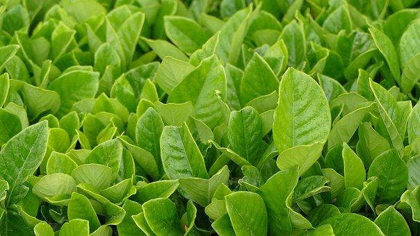 Mauritius, Bois Chéri, Tee, Tea Plantation, Tea Leaves