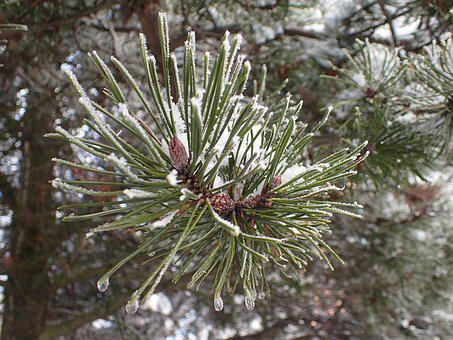 Pine, Needles, Nature, Branch, Tree, Conifer, Forest