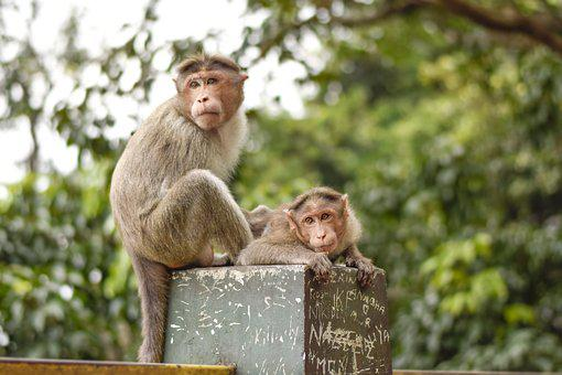 Monkey, Mom, Care, Forest, Wayanad