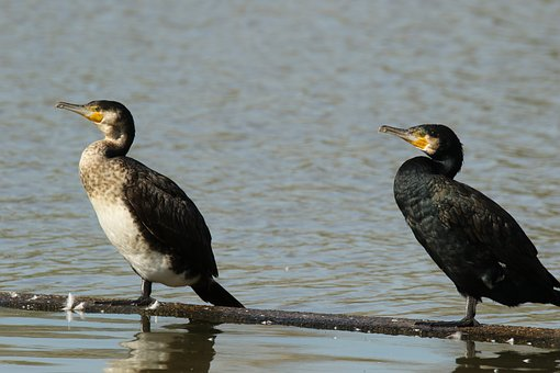 Cormorants, White-breasted, Waterbird, Wildlife