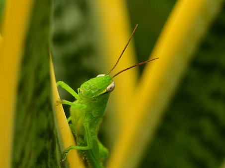 Grasshopper, Green Hopper, Antenna, Insect, Wildlife