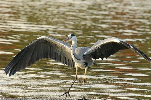 Grey Heron, Bird, Wildlife, Wings, Hunting, Prey