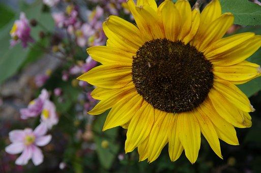 Sunflower, Yellow, Nature