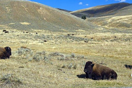 Lamar Valley Buffalo, Bison, Buffalo, Yellowstone