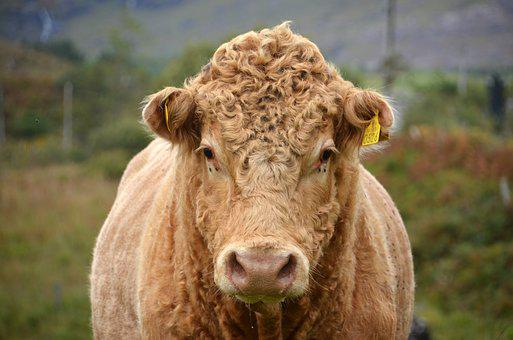 Bull, Animal, Cattle, Nose Ring, Cow, Farm, Pasture
