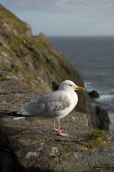 Gull, Bird, Seagull, Freedom, Sky, Animal, Sea, Nature