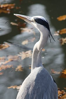 Grey Heron, Heron, Bird, Nature, Animal, Animal World