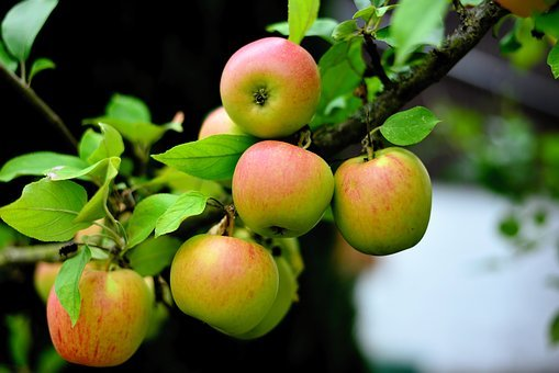 Apple, Goldparmäne, Apple Tree, Fruit, Garden, Healthy