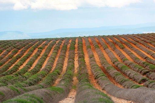 Valensole, Lavender Field, Barren, Agriculture