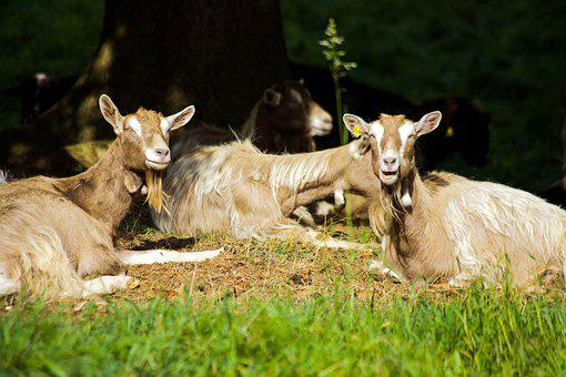 Goats, Billy Goat, Idyle, In The Green, Nature, Animals