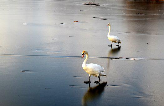 Winter, Ice, Frost, Birds, Swans, Blue, Lake, Spacer