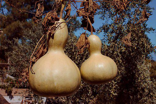 Bottle Gourd, Lagenaria Siceraria, Crop, Climber Plant
