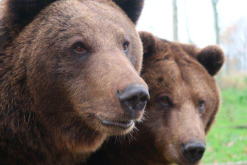 Bear, Brown Bear, Fur, Bears, Hairy, Dangerous, Teddy