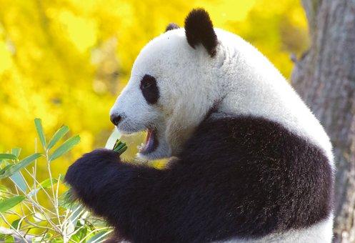 Panda Bear, China, Endangered, Bamboo, Mammal, Fur