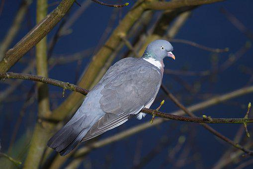 Pigeon, Bird, Animal, Feathers, Wings, Nature, Fly