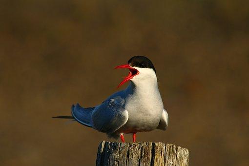Bird, Freedom, Winter, Arctic Tern, Iceland, Sea