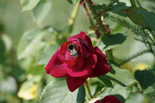 Rose, Hummel, Garden, Flowers, Red, Blossom, Bloom