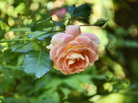 Rose, Bloom, Pink, Flower, Blossom, Greenery, Foliage