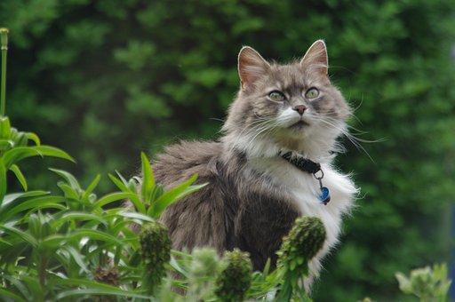Grey, Fluffy, Cat