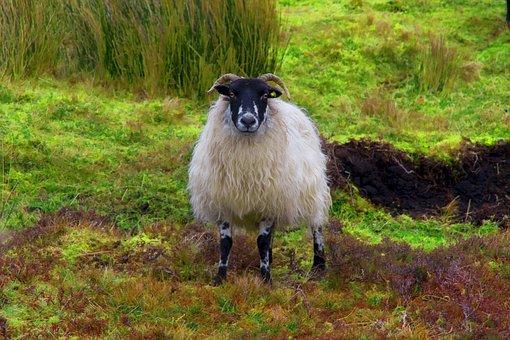 Sheep, Connemara, Ireland, Landscape, Travel, Nature