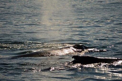 Whales, Sun, Ocean, Sea, Antarctica, Whale, Landscape