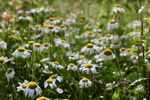 Meadows-margerit, Magarite, Daisies, Magerite
