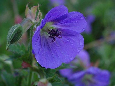 Flower, Blue, Plant, Nature, Flower Garden, Summer