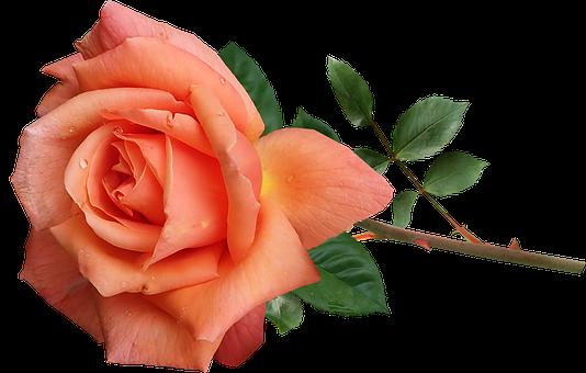 Rose, Orange, Perfume, Flower, Stem, Garden, Nature