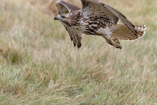 Red Tailed Hawk, Bird, Nature, Wildlife, Predator