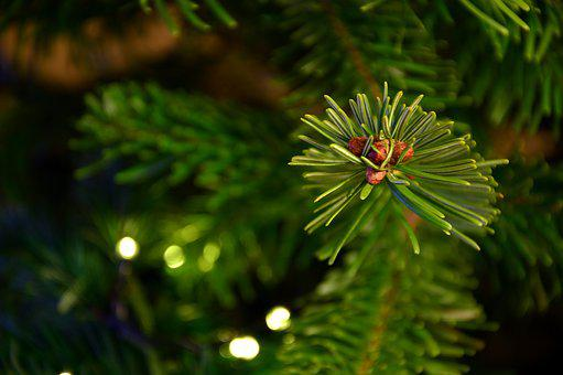 Fir Tree, Fir Green, Tannenzweig, Branch, Needle Branch