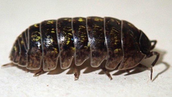 Beetle, Slater, Wood Louse, Garden, Pest, Nature