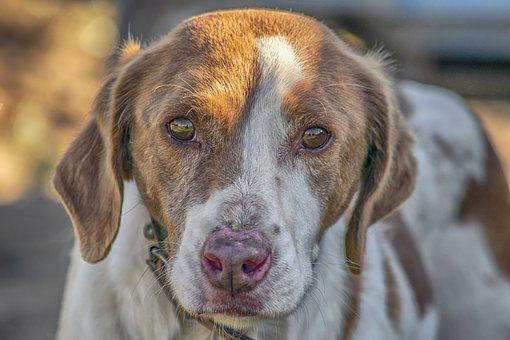 Dog, Hunting, Animals, Pets, Tamed, Portrait, Snout