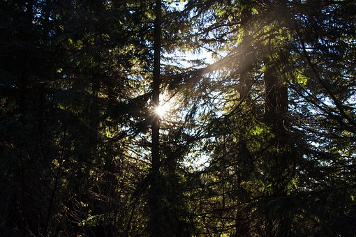 Pine, Forest, Mountain, Landscape, Sunrise, Sunshine