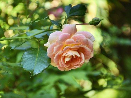 Rose, Bloom, Pink, Flower, Blossom, Greenery, Foliage
