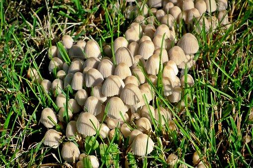 Mushrooms, Meadow, Autumn, Nature, Poisonous, Grass