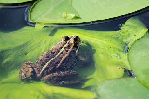 Frog, Pond, Animal, Water, Amphibian, Nature, Leaf