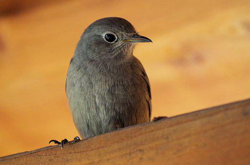 Black Redstart, Bird, Nature, Songbird, Red Tailed